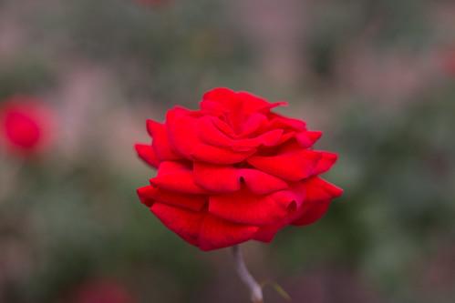 Rosa by kassá