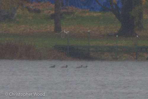 usa newyork bird animal us duck waterfowl scoter anatidae anseriformes surfscoter melanittaperspicillata anatinae schuylercounty