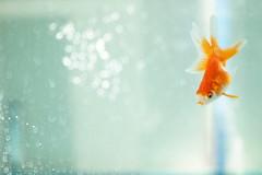 [フリー画像素材] 動物 2, 魚類, 金魚・キンギョ ID:201210270400