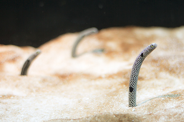 Sthm-3-fisk
