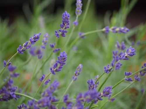 Port Stanley lavender