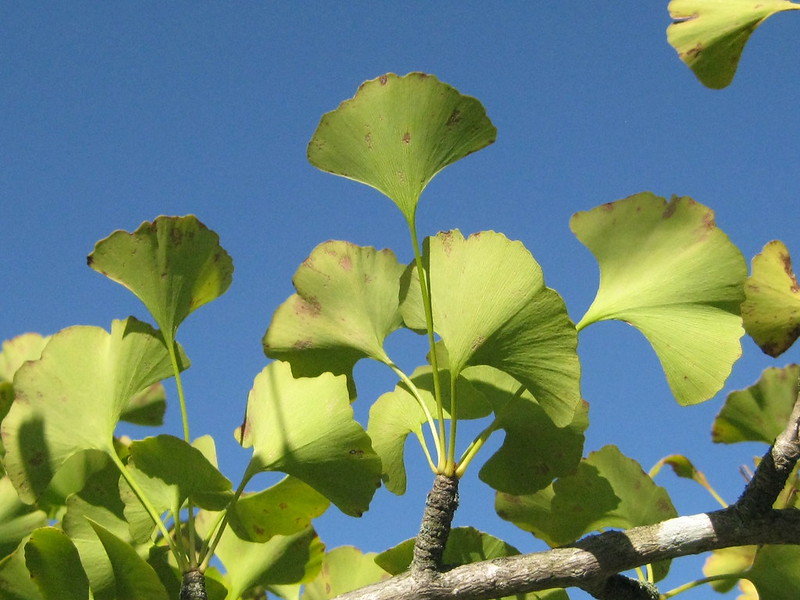 ginkgo trees and big blue sky