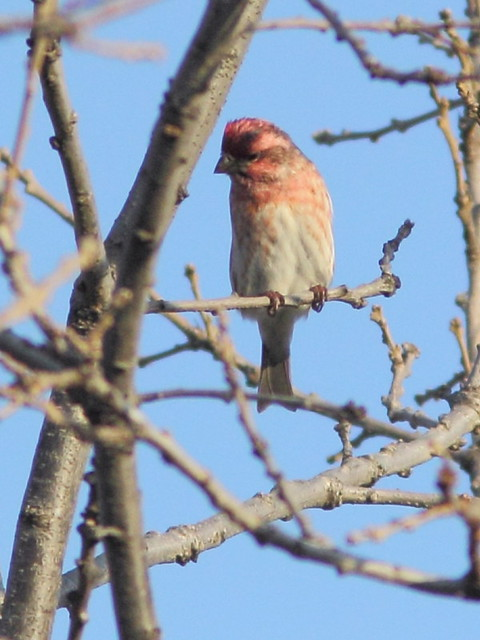 Purple Finch male 2-20121025