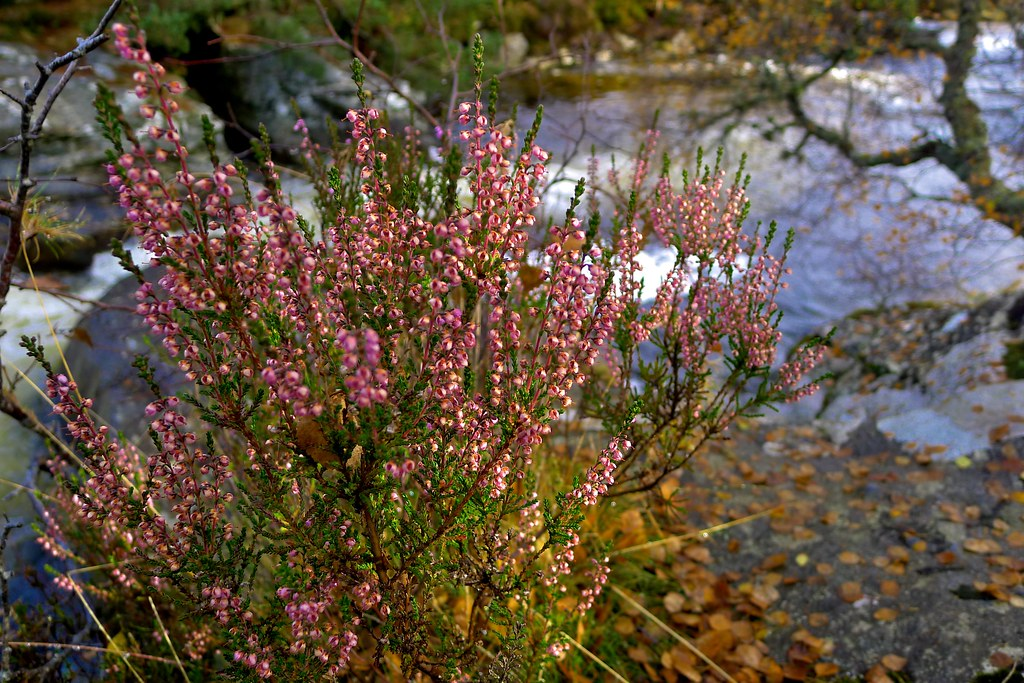 Late Season Heather