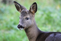 Roe Deer, Buck Lane