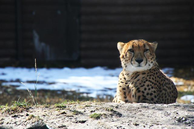 Cheetah at Denver Zoo