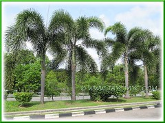 Wodyetia bifurcada (Foxtail Palm): landscaped along the highway's road divider