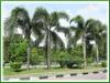Wodyetia bifurcada (Foxtail Palm)