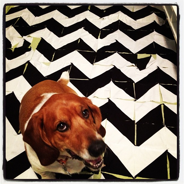 Laid out my first #quiltsbychristmas quilt...and this guy had to test it out.