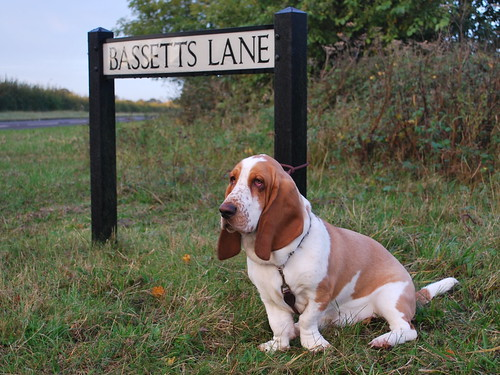 bailey the basset in Bassetts lane, willingale.