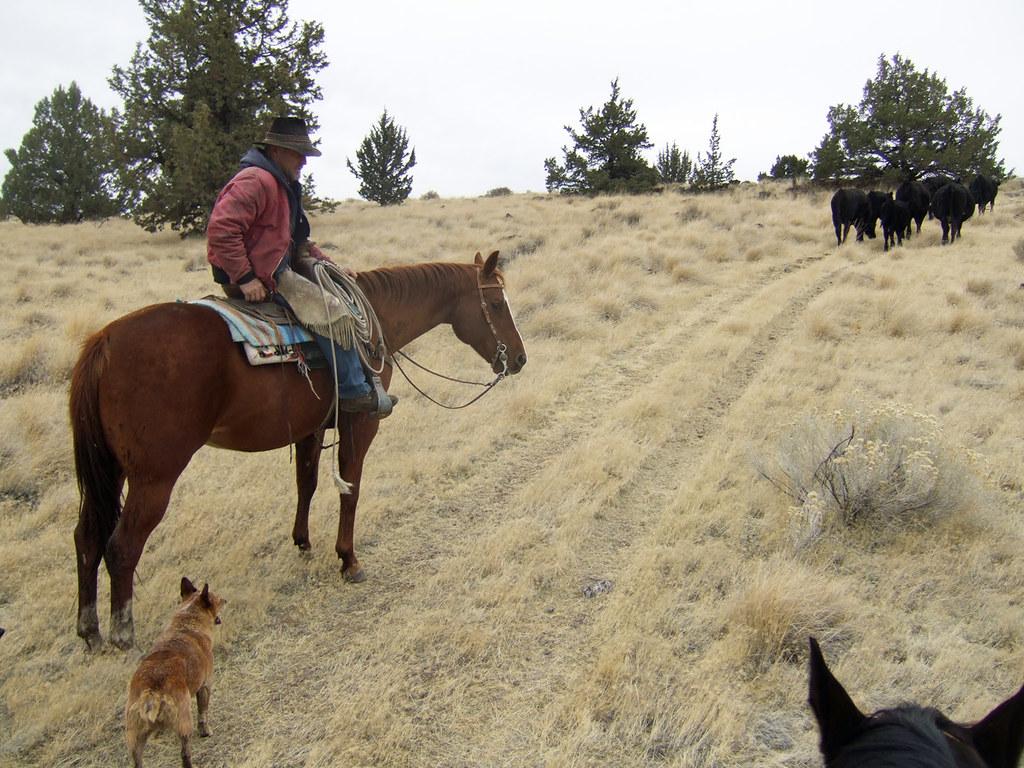 Gathered Wayward Cows
