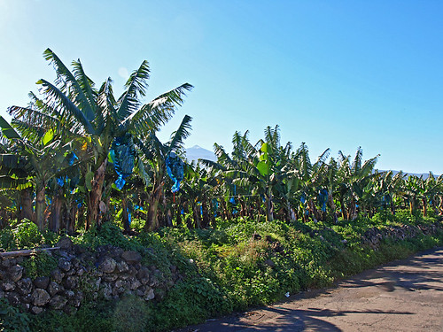 Walking with Bananas, Tenerife