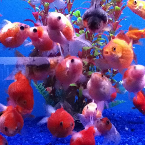 Golf ball pearlscale goldfish at Big Al's... I want one so bad! They're so round and cute!