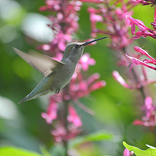 Hummingbird... wings fluttering and legs tucked neatly under by jungle mama