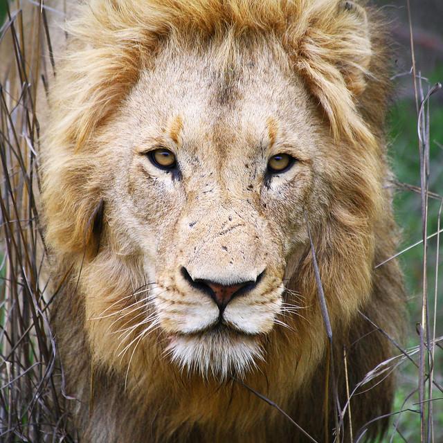 Lion, Kruger Park, South Africa