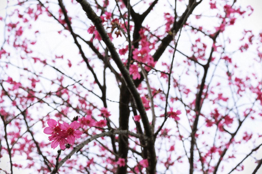 櫻花季開跑