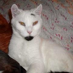 domestic long-haired cat(0.0), turkish van(0.0), khao manee(0.0), burmilla(0.0), european shorthair(0.0), turkish angora(0.0), ragdoll(0.0), balinese(0.0), manx(0.0), domestic short-haired cat(0.0), animal(1.0), small to medium-sized cats(1.0), pet(1.0), javanese(1.0), cat(1.0), carnivoran(1.0), whiskers(1.0),