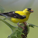 Goldfinch, male by asparks306