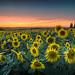 Sunflower Sunset by AnitaErdmann