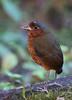Giant Antpitta - Refugio Paz de las Aves Mindo, Ecuador
