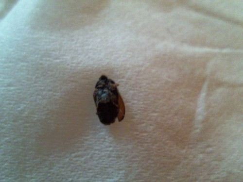 Bugs That Look Like Bed Bugs With Wings