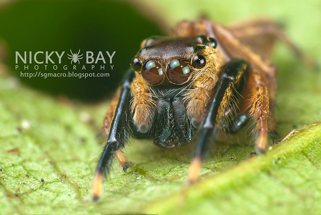 Jumping Spider (Salticidae) - DSC_8113