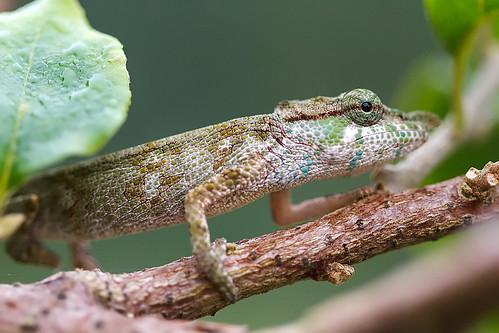 Chameleon - Kamelont