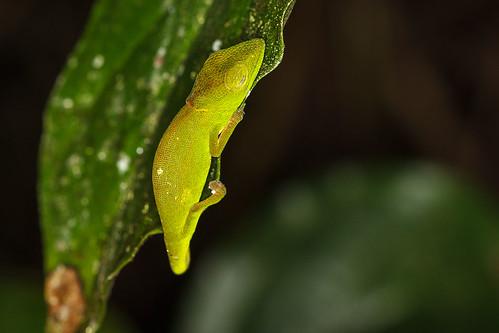 Short-nosed/Side-striped/Perinet Chameleon (Calumma gastrotaenia)