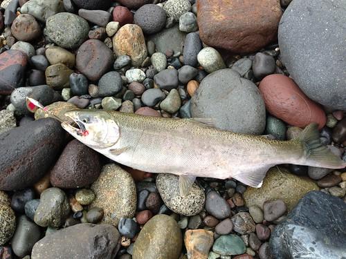 carbon river silver salmon