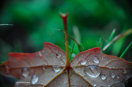 autumn macro nikon fallfoliage mapleleaf raindrops fallseason