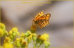 sage checkerspot butterfly photography by Ron Birrell; DSC_4835