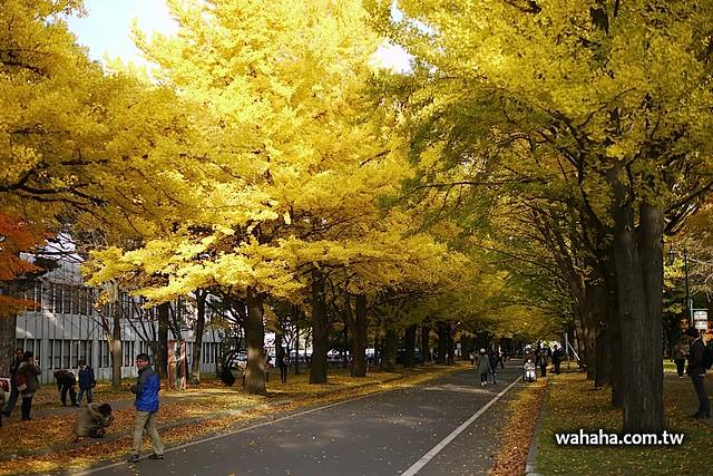 北海道大學イチョウ並木