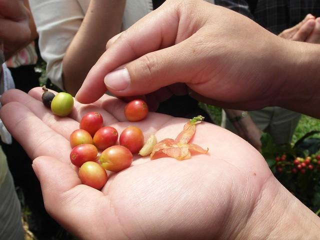 摘採咖啡豆的挑選原則