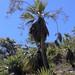 Flowering palm tree - Palma en floración; cerca de Las Palmas, Región Mixteca, Oaxaca, Mexico por Lon&Queta