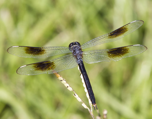 macro nature canon insect dragonfly wildlife skimmer pennant odonata fourspotted 550d