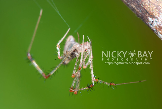 Golden Comb-footed Spider (Chrysso sp.) - DSC_4115