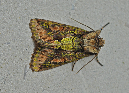 2245 Green-brindled Crescent Allophyes oxyacanthae Pegwell Bay by Kinzler Pegwell