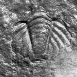 Trilobite pygidium of Calymene sp.