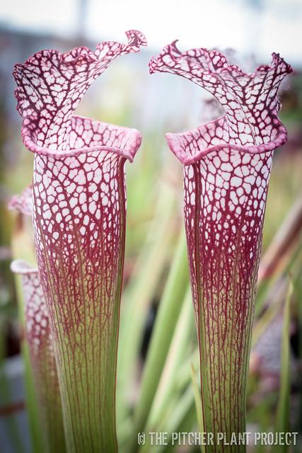 Sarracenia leucophylla, Franklin Co., FL clone A x B