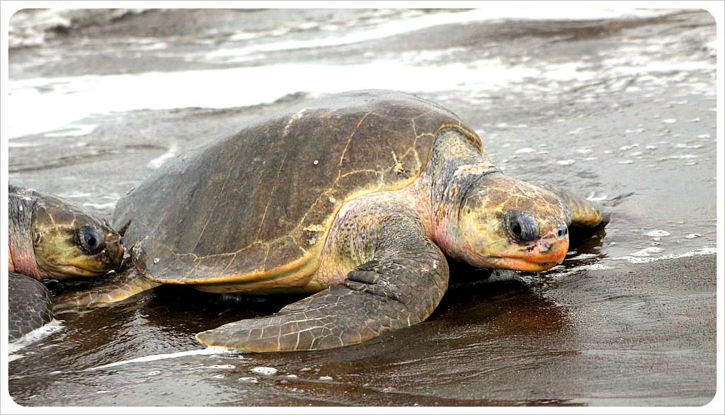 october 2012 turtle arribada ostional