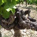 Gigondas vine