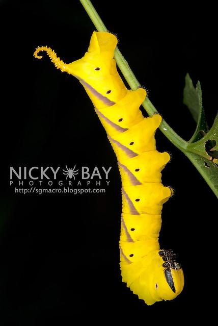 Death's Head Hawk Moth larva (Acherontia atropos) - DSC_0725