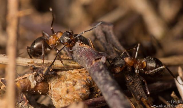 wood ants - Formic rufa