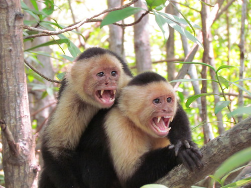 White-headed Capuchin by JoeOcchipinti