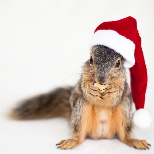 [フリー画像素材] 動物 1, 栗鼠・リス, 行事・イベント, クリスマス, サンタクロース ID:201210281000