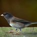 Dark-eyed Junco - Photo (c) Robin Horn, some rights reserved (CC BY-NC-ND)