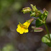 Roundleaf Monkeyflower - Photo (c) Anne, all rights reserved