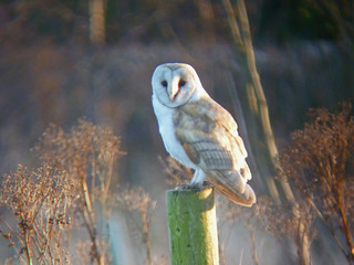 Barn Owl, Nosterfield