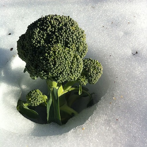 broccoli doesn't give a shit #maine #strawberryspring #thaw