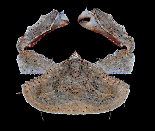 Flat-rock elbow crab (Cryptopodia fornicata)